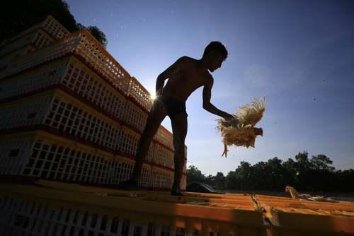 ارسال مرغهای زنده از مکزیک به گواتمالا/ آسوشیتدپرس