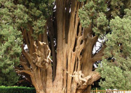 درختی زیبا در ایران که مارکوپولو از آن دیدن کرد/عکس