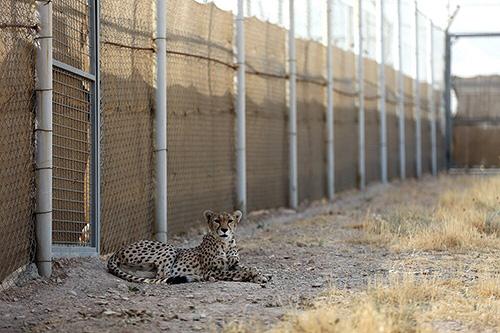 دزدیدن یوزپلنگ در معرض خطر انقراض از طبیعت شاهرود