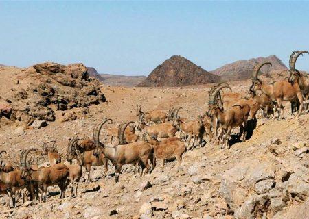 شکار آهو در قُرقهای اختصاصی با مجوز سازمان محیط زیست