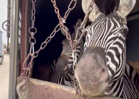 توضیح باغ وحش درباره مرگ گورخر آفریقایی