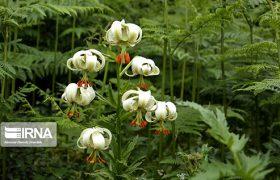 نادرترین گل جهان در داماش گیلان