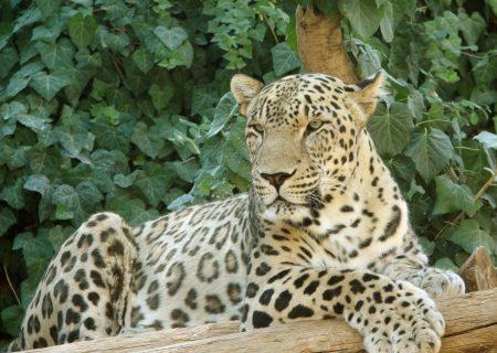خطر انقراض پلنگ ایرانی قوت گرفت