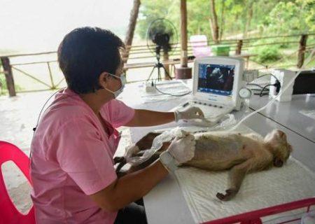 سونوگرافی از جنین یک میمون آبستن/ عکس