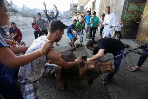قربانی کردن گاو به مناسبت عید قربان در نوار غزه/ عکس
