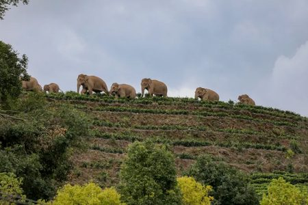 گله فیل وحشی آسیایی در چین/ عکس