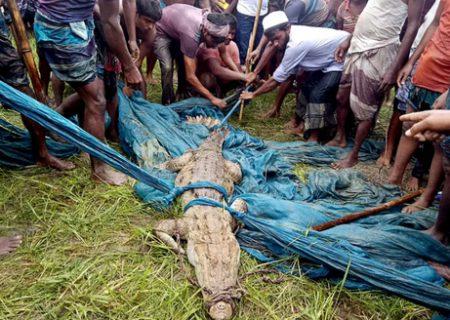 زنده گرفتن یک کروکودیل در بنگلادش/ عکس