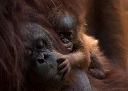 اورانگوتان تازه متولد شده در باغ وحش در اسپانیا/ عکس