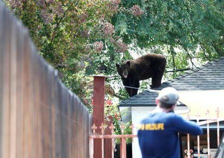زنده گیری یک خرس در خانه ای در کالیفرنیا /عکس