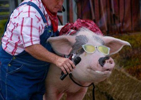 آرایش خوک در آمریکا/ عکس