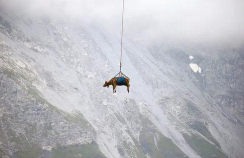 انتقال گاو با هلی کوپتر / عکس