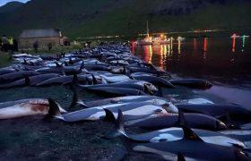 کشتار وحشیانه ۱۴۰۰ دلفین در جزایر فارو