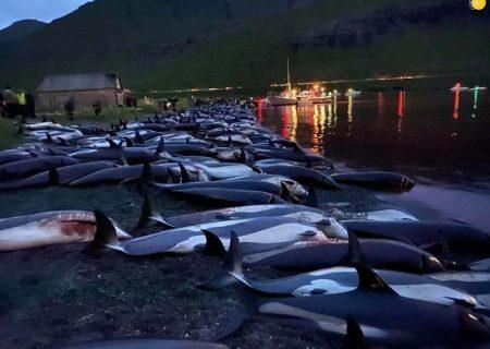 کشتار وحشیانه ۱۴۰۰ دلفین در جزایر فارو / عکس