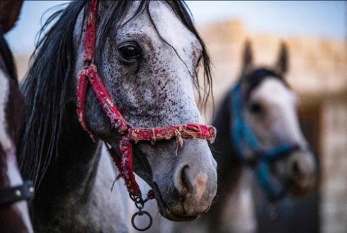 اسب های اصیل نژاد عرب در سوریه/ عکس