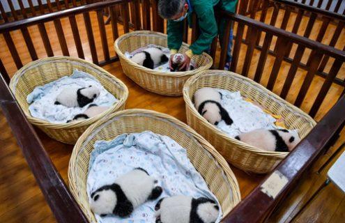 مرکز نگهداری پانداها در چین/ عکس