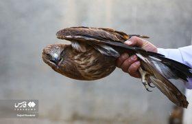رهاسازی پرندگان شکاری در طبیعت قم