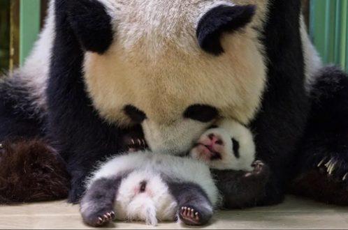 پاندای کوچک در باغ وحشی در فرانسه/ عکس