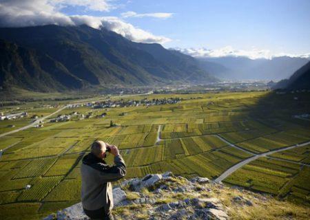 دیدبانی برای مقابله با سرقت از تاکستان ها در سوییس/ عکس
